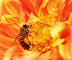 714px-Honey_Bee_takes_Nectar